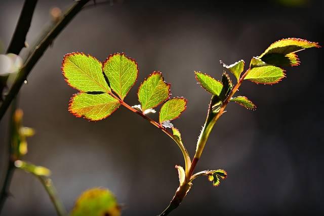 Rose Leaf Twig Bush - Free photo on Pixabay (349156)