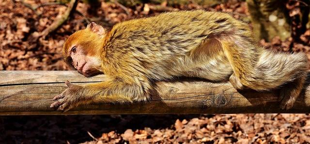 Barbary Ape Animal Äffchen - Free photo on Pixabay (352444)