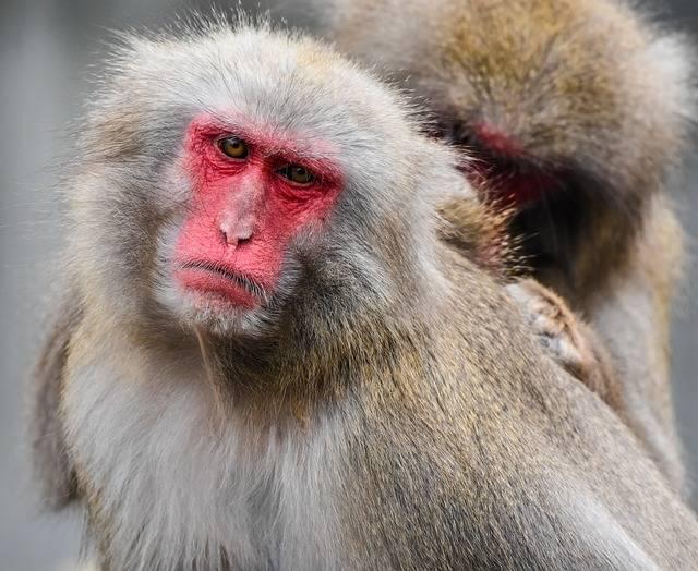 Japan Monkey Zoo Wilhelma Red - Free photo on Pixabay (358555)