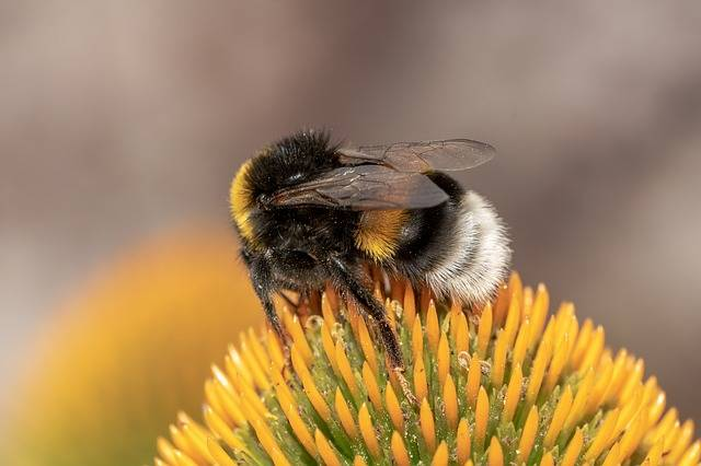 Heath-The Bumble Bee Kryptarum-The - Free photo on Pixabay (358562)
