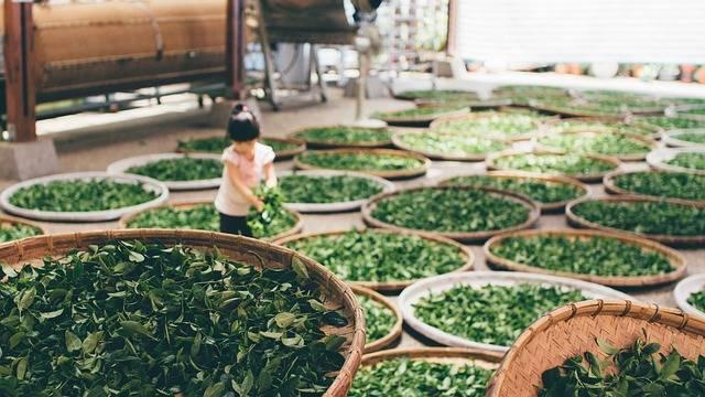 Tea Work Harvest - Free photo on Pixabay (358729)