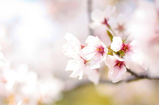 Spring Cherry Blossoms Pink - Free photo on Pixabay (358846)