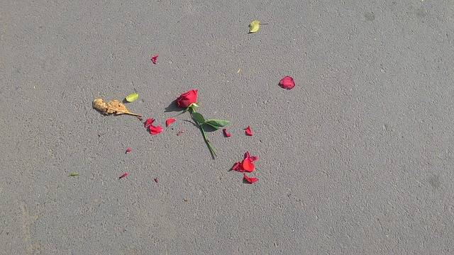 Rose Flower Broken - Free photo on Pixabay (365918)