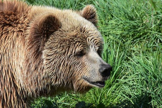 European Brown Bear - Free photo on Pixabay (366461)