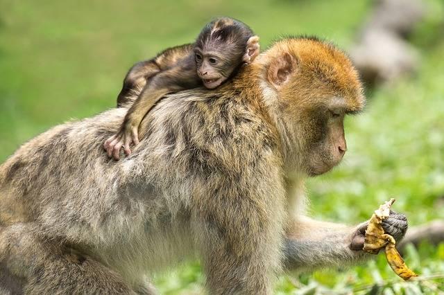 Young Animal Monkey Barbary Ape - Free photo on Pixabay (366538)