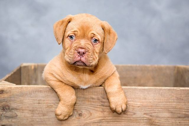 Dogue De Bordeaux Puppy Dogs - Free photo on Pixabay (367617)