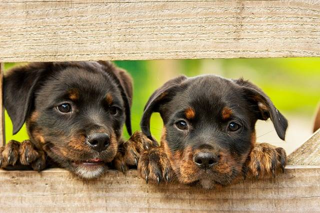 Rottweiler Puppy Dog - Free photo on Pixabay (373172)