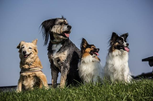 Four Dogs Pack Papillon - Free photo on Pixabay (373175)