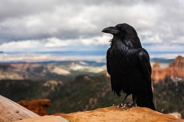 Crow Raven Bird - Free photo on Pixabay (373414)