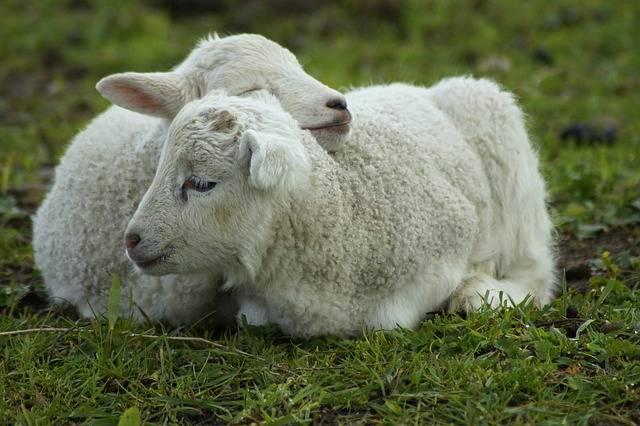 Schäfchen Lamb Snuggle - Free photo on Pixabay (373445)