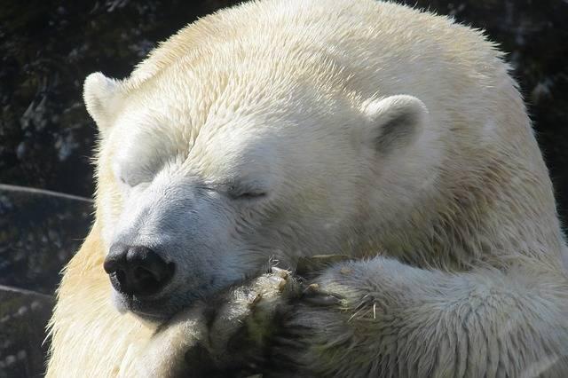 Polar Bear Sleeping Close Up - Free photo on Pixabay (373743)