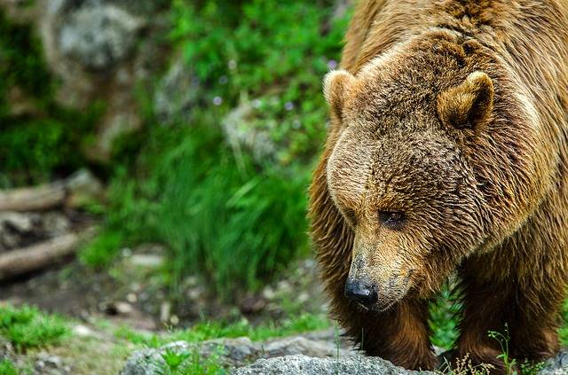 Bear Brown Predator - Free photo on Pixabay (373800)