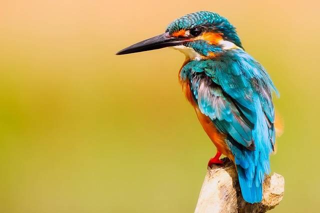 Kingfisher Bird Wildlife - Free photo on Pixabay (377160)