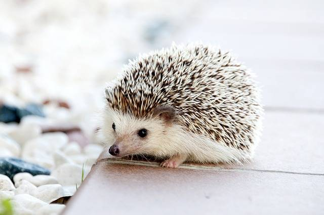 Hedgehog Animal Baby - Free photo on Pixabay (380924)