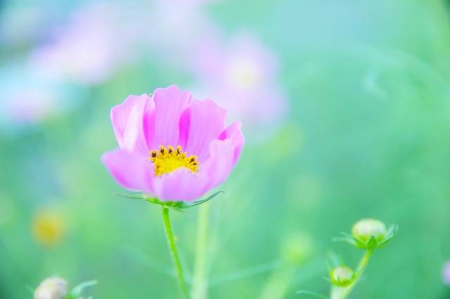 Japan Flowers Cosmos One - Free image on Pixabay (380977)