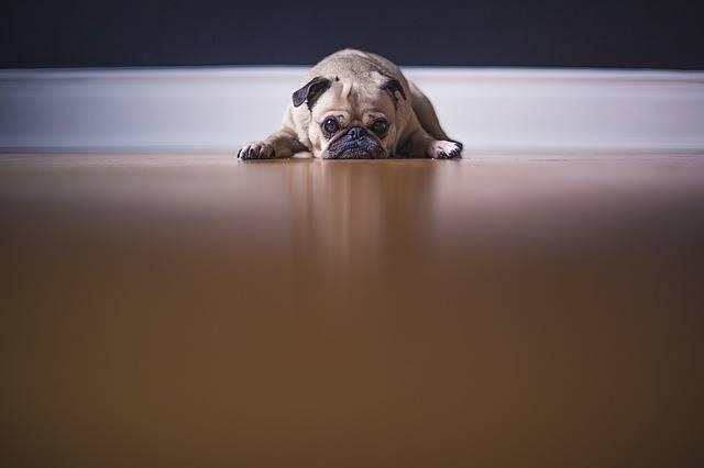 Pug Dog Puppy - Free photo on Pixabay (383622)