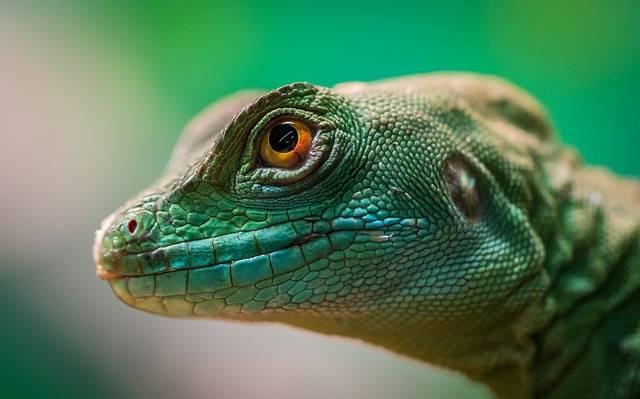 Lizard Reptile Living Nature - Free photo on Pixabay (384146)