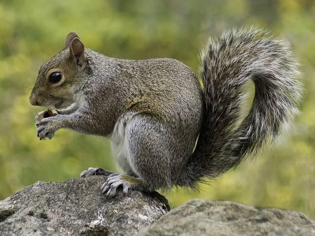 Squirrel Wildlife Nature - Free photo on Pixabay (385088)