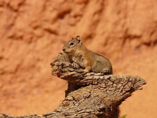 Golden Mantled Ground Squirrel - Free photo on Pixabay (385106)