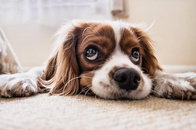Dog Sad Waiting - Free photo on Pixabay (386856)
