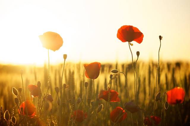 Sunset Poppy Backlight - Free photo on Pixabay (387662)