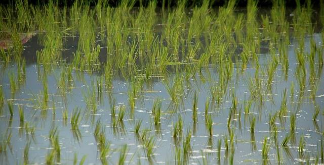 Rice Shoots Field - Free photo on Pixabay (388063)