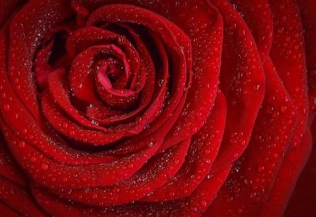 Rose Red Flower - Free photo on Pixabay (393845)
