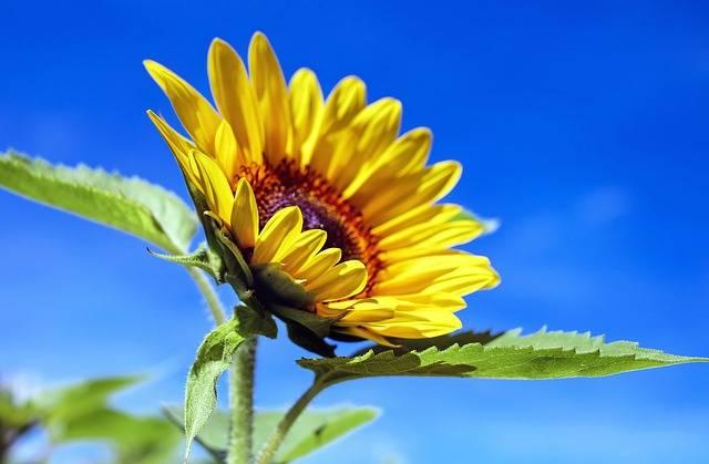 Sunflower Flower Bloom - Free photo on Pixabay (393856)