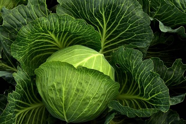 Cabbage Cultivation Vegetables - Free photo on Pixabay (396303)