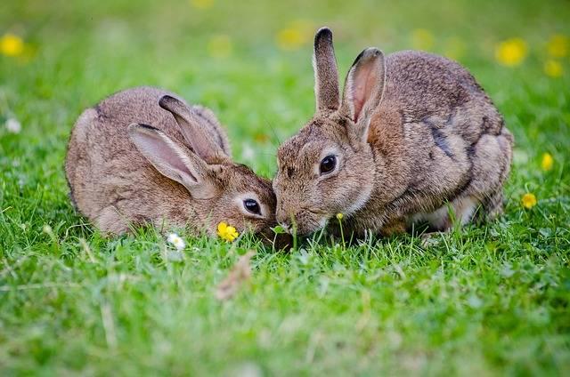 European Rabbits Bunnies Grass - Free photo on Pixabay (398696)