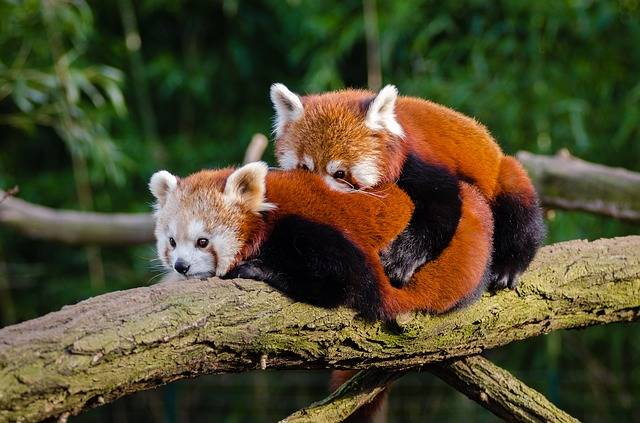 Animal Red Panda Cuddle - Free photo on Pixabay (405005)