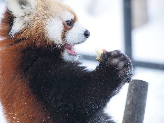 Diet Red Panda Zoo - Free photo on Pixabay (405555)