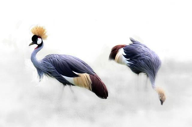 Grey Crowned Crane Cranes Bird - Free photo on Pixabay (406505)