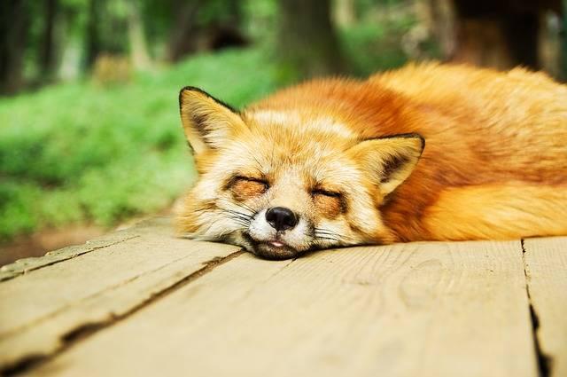Animal Fox Cute - Free photo on Pixabay (406650)
