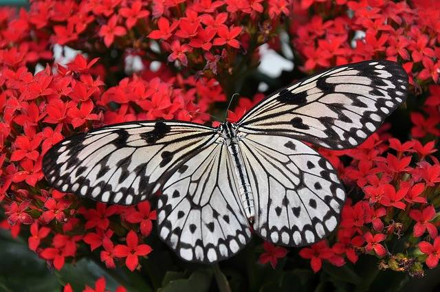 Butterfly Insect Wings - Free photo on Pixabay (412099)