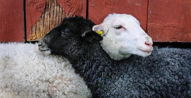May Lamb - Free photo on Pixabay (422530)