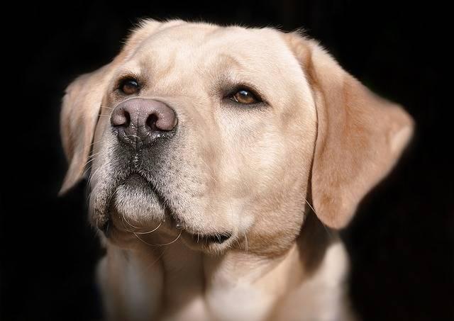 Labrador Head Hell - Free photo on Pixabay (428336)