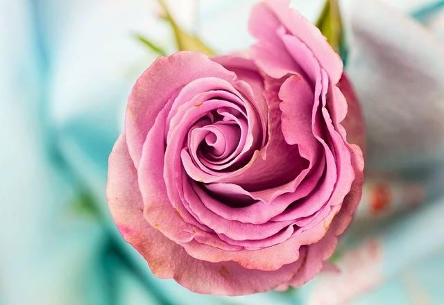 Rose Flower Petal - Free photo on Pixabay (435335)