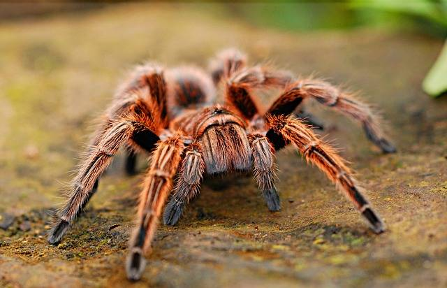 Spider Tarantula Creepy - Free photo on Pixabay (436247)
