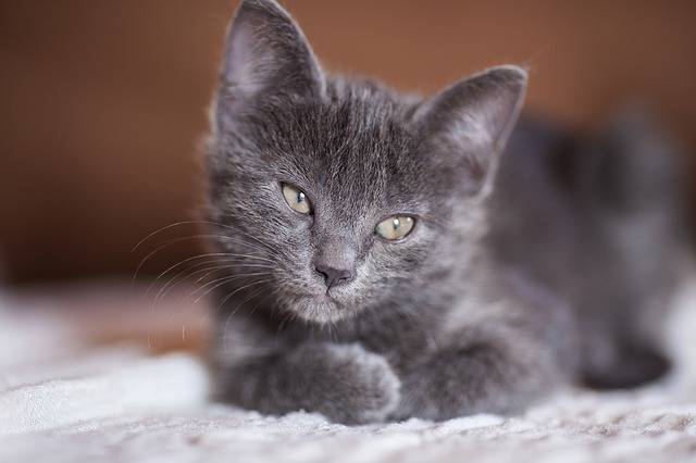 Cat Grey Animals - Free photo on Pixabay (437430)