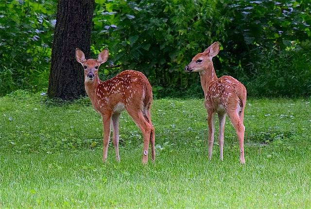 Fawn Deer Twins - Free photo on Pixabay (438918)