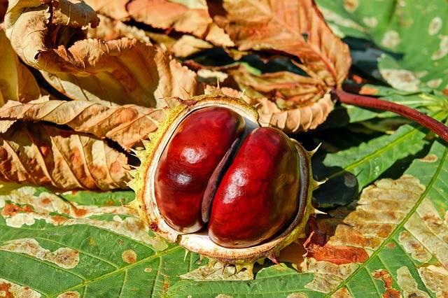Chestnut Autumn Buckeye Ordinary - Free photo on Pixabay (441819)