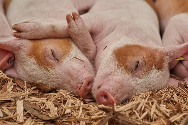 Piglet Sleep Pig - Free photo on Pixabay (446678)