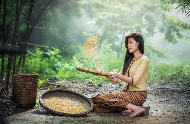 Rice Woman Harvest - Free photo on Pixabay (446686)