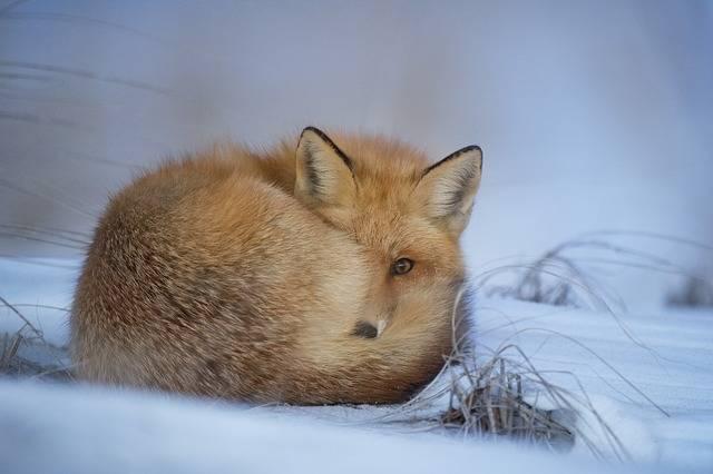 Animal Fox Canine - Free photo on Pixabay (448107)