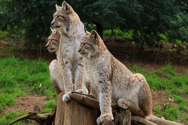 Lynx Miranda Crow Zoo - Free photo on Pixabay (448141)