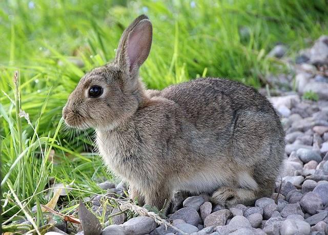 Hare Rabbit Animal - Free photo on Pixabay (448444)