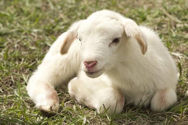 Lamb Farm Sheep - Free photo on Pixabay (448467)