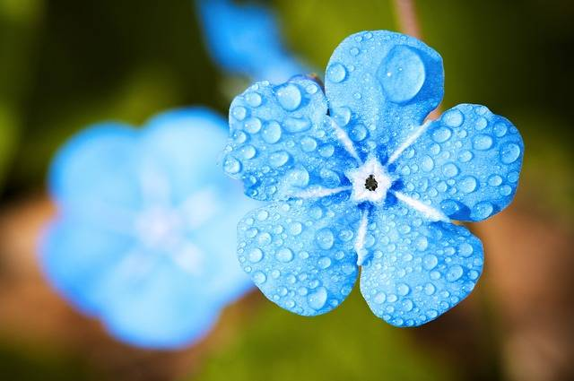 Flower Macro Forget - Free photo on Pixabay (452864)
