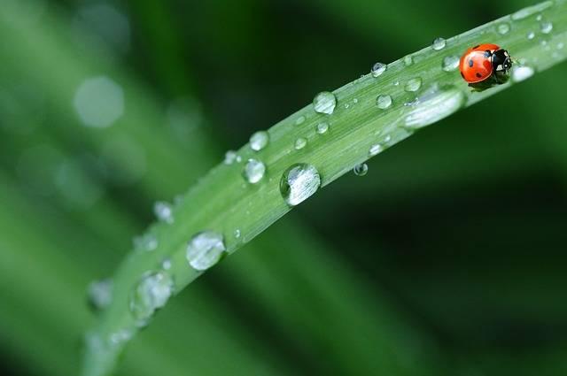 Ladybug Drop Of Water Rain - Free photo on Pixabay (452879)